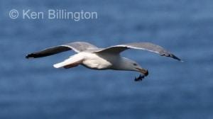 Herring Gull (Larus argentatus) (03)