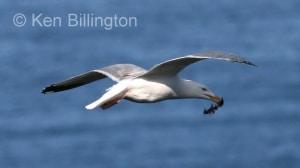 Herring Gull (Larus argentatus) (04)