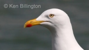 Herring Gull (Larus argentatus) (07)