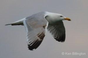 Herring Gull (Larus argentatus) (18)