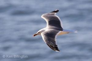 Herring Gull (Larus argentatus) (17)