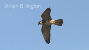 Eurasian Hobby (Falco subbuteo) (3)