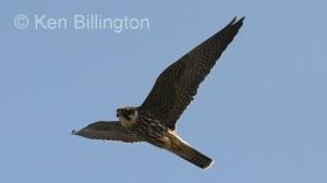 Eurasian Hobby (Falco subbuteo) (7)