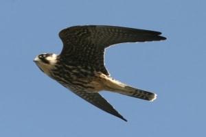 Hobby (Falco subbuteo) (8)