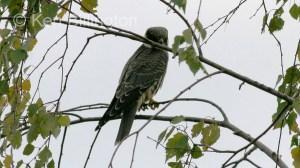 Eurasian Hobby (Falco subbuteo) (9)