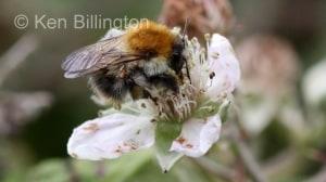 Honey-Bee-