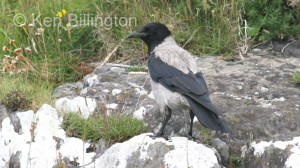 Hooded Crow (Corvus cornix) (1)