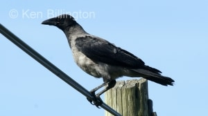 Hooded Crow (Corvus cornix) (10)