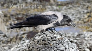 Hooded Crow (Corvus cornix) (14)