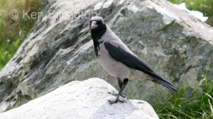 Hooded Crow (Corvus cornix) (3)