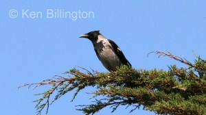 Hooded Crow (Corvus cornix) (4)