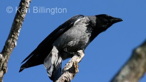 Hooded Crow (Corvus cornix) (5)