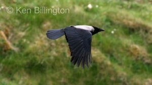 Hooded Crow (Corvus cornix) (6)