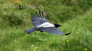 Hooded Crow (Corvus cornix) (7)