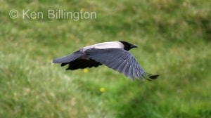 Hooded Crow (Corvus cornix) (8)
