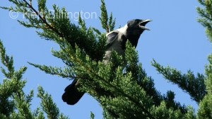 Hooded Crow (Corvus cornix) (9)