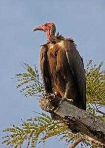 Hooded Vulture, N. monachus