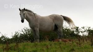 Horse (Equus ferus caballus) (1)