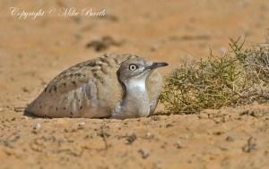 Houbara Bustard (Chlamydotis undulata) (VU)