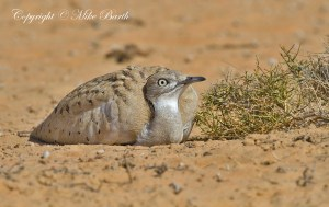 Houbara Bustard (Chlamydotis undulata)