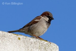 House Sparrow (Passer domesticus) (15)