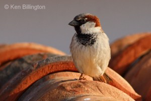 House Sparrow (Passer domesticus) (16)