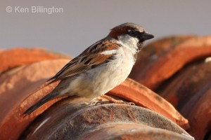 House Sparrow (Passer domesticus) (17)