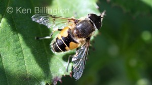 Hoverfly-