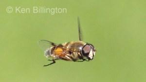 Hoverfly (Sericomyia silentis) (3).jpg