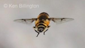 Hoverfly (Sericomyia silentis)