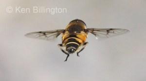Hoverfly (Sericomyia silentis) (5).jpg