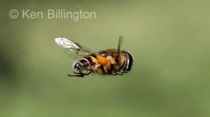 Hoverfly (Sericomyia silentis) (6).jpg