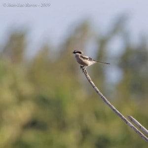 Iberian Grey Shrike Lanius meridionalis