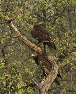 Indian Spotted Eagle Clanga Hastata