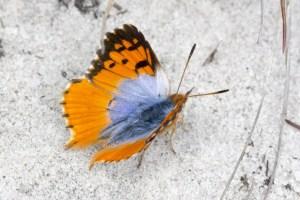 Endymion Opal male
