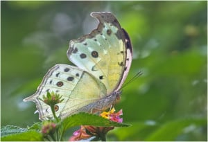 Mother-of-pearl Butterfly