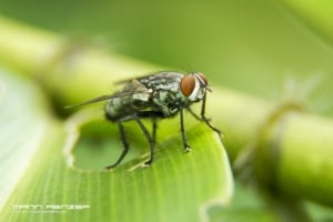 Macro - Flies