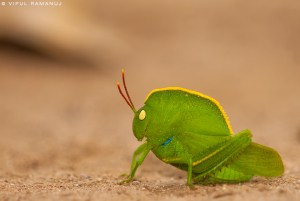 Hooded Grasshopper  -  Teratodes Monticollis