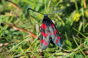 Six-spot Burnet Zygaena Filipendulae