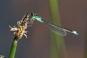 Blue-tailed Damselfly Ischnura pumilio