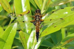 Four Spotted Chaser Dragonfly Libellula quadrimaculata