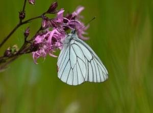 Black-veined White - Aporia crataegi