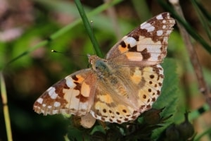 Painted Lady Cynthia cardui