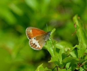 Pearly Heath - Coenonympha arcania