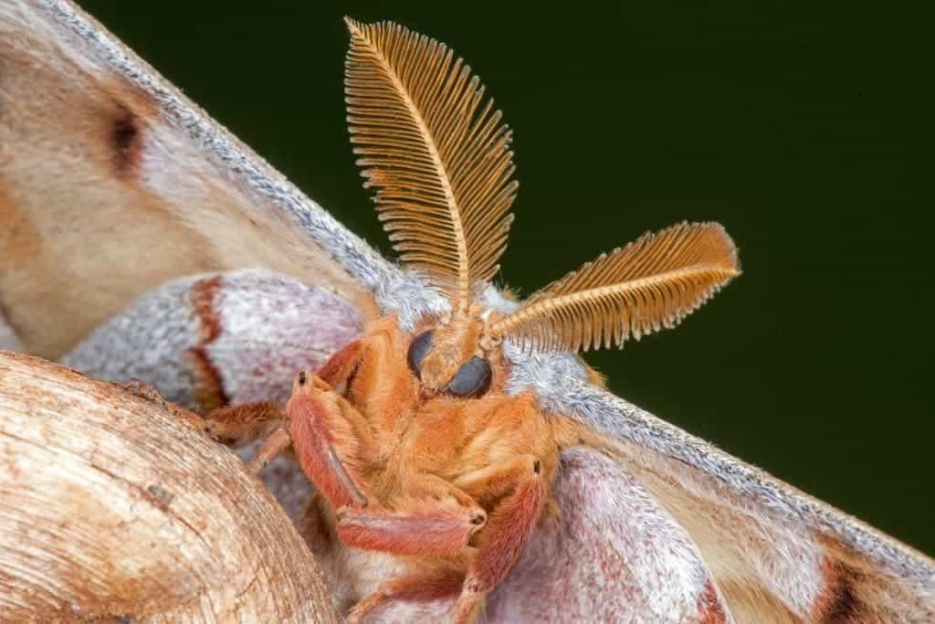 Polyphemus Moth Detail