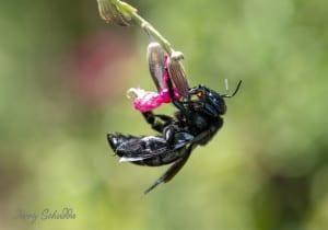 Carpenter Bee on Salvia