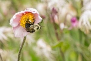 Honeybee on Anemone