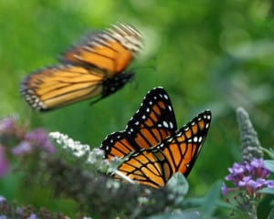 Monarch and Viceroy