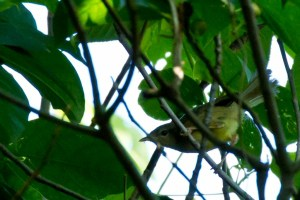 Ijima's Leaf Warbler (Phylloscopus ijimae)