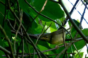 Ijima's Leaf-warbler Phylloscopus ijimae